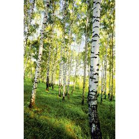 Фотообои К-117 «Берёзовый лес» (4 листа), 140 × 200 см Ош