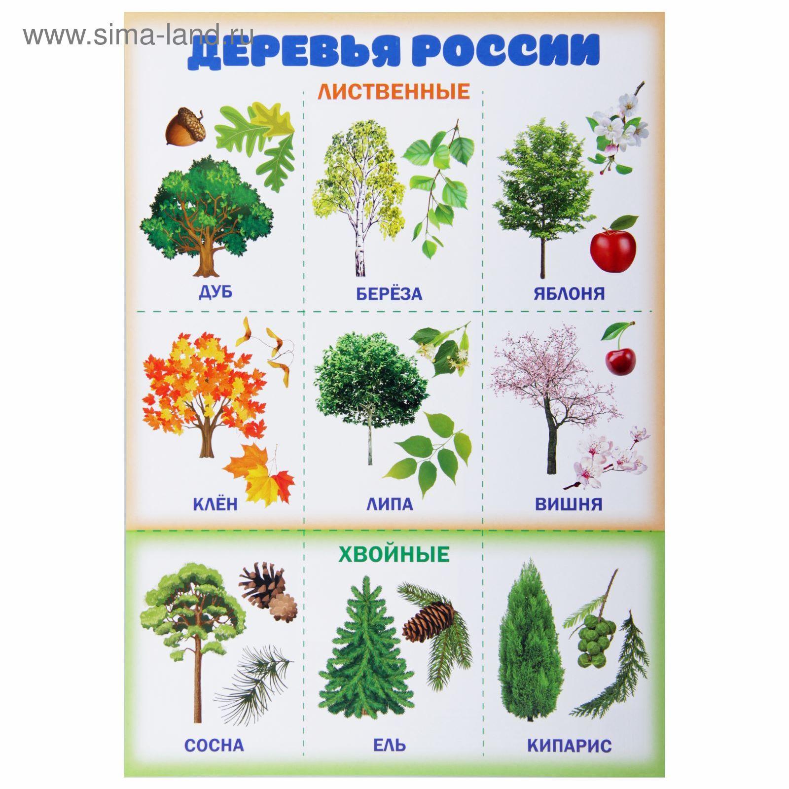 лиственные деревья россии фото и названия чему