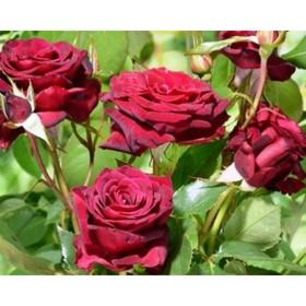 Саженец розы Роял Баккара, 1шт , Весна 2021