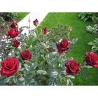 Саженец розы Черная Магия, 1шт