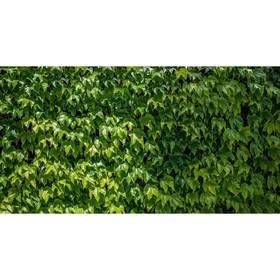 Фотобаннер, 250 × 150 см, с фотопечатью, «Виноградная стена» Ош