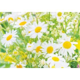 Фотообои Bellissimo Солнечные ромашки, 4 листа 200х140 см Ош