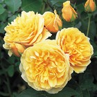 Саженец розы Грэхем Томас в коробке, ZP, 1 шт