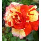 Саженец розы Оранж энд лемон в коробке, ZP, 1 шт