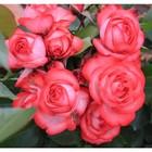 Саженец розы плетистая Антик в коробке ZP, 1 шт