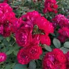 Саженец розы Фэйри Данс в коробке, ZP, 1 шт