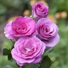 Саженец розы Виолетт Парфюм в коробке, ZP, 1 шт