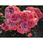 Саженец розы Кимоно в коробке, ZP, 1 шт