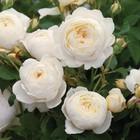 Саженец розы Гарри Гари Остин в коробке, ZP, 1 шт