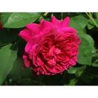 Саженец розы Шекспир коробке, ZP, 1 шт