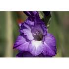 Посадочный материал в ящике: Гладиолус Purple Flora, р-р 10/12