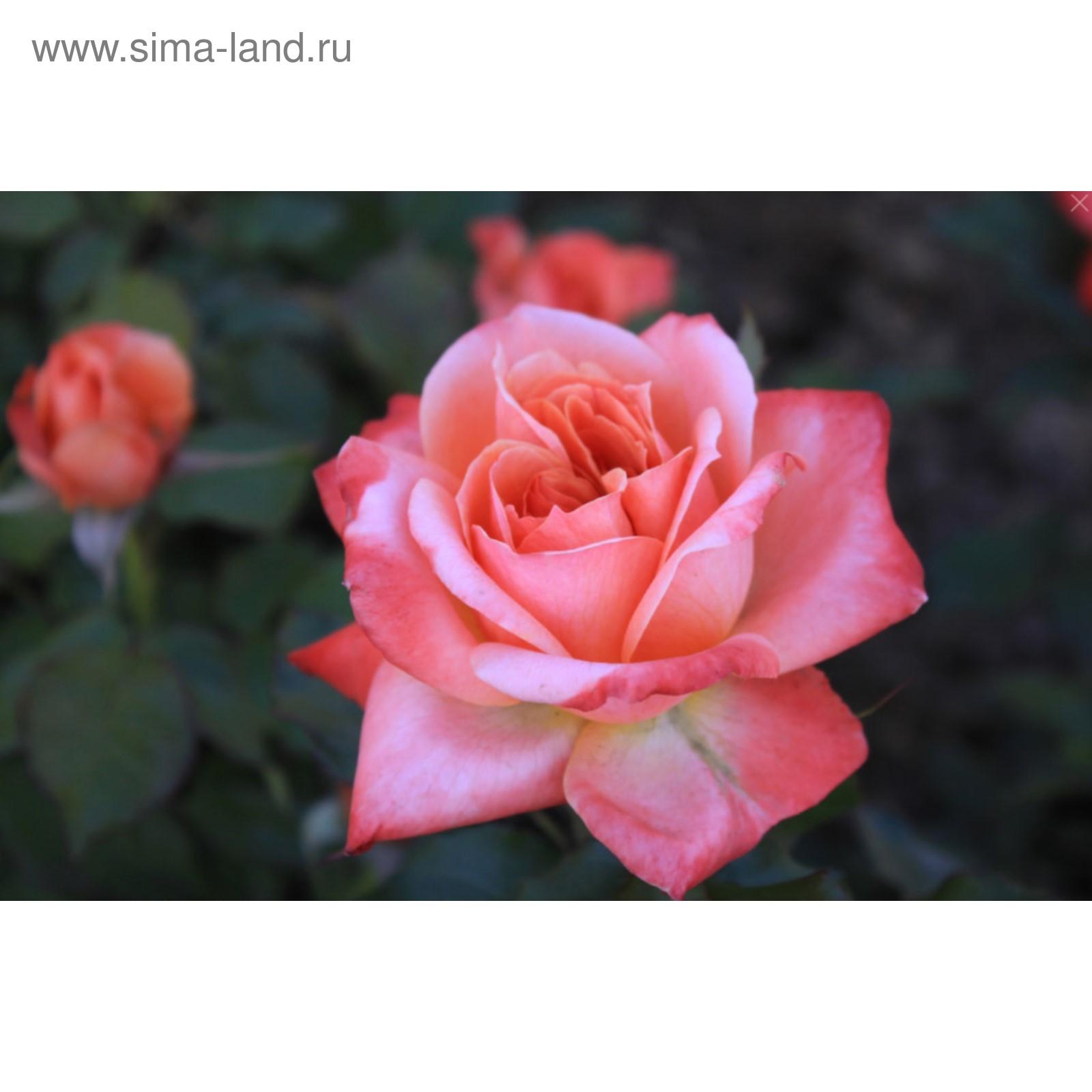 каждую роза данте фото насколько разными