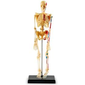 Развивающая игрушка «Анатомия человека. Скелет», 41 элемент