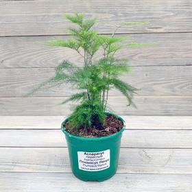 Комнатное растение Аспарагус, горшок D12 Ош