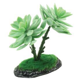 """Растение для террариума """"Граптоверия"""", 15 см"""