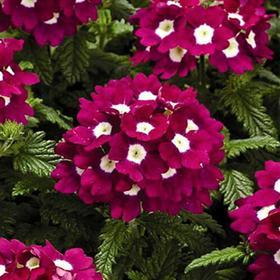 Рассада цветочная Вербена крупноцветковая микс, кассета 6 шт Ош