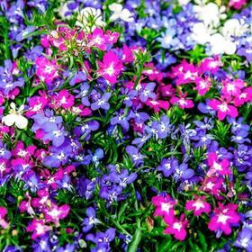 Рассада цветочная Лобелия прямостоячая Микс, кассета 6 шт Ош