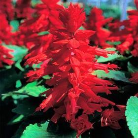 Рассада цветочная Сальвия Красная, кассета 6 шт Ош