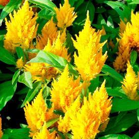 Рассада цветочная Целозия метельчатая микс, кассета 6 шт Ош