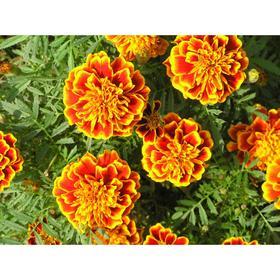 Рассада цветочная Бархатцы, кассета 6 шт Ош
