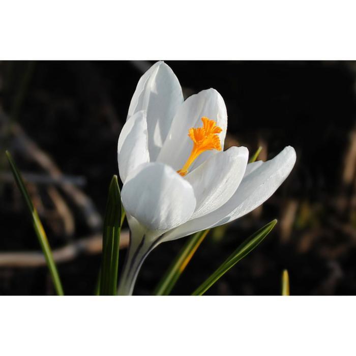 Крокус крупноцветковый Жанна д`Арк/JEANNE D'ARC, р-р 7/8, 5шт, Эконом