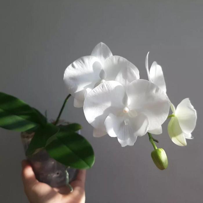 Фаленопсис Charmin Crystal 2,5