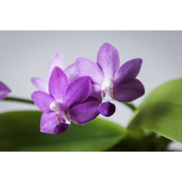 Фаленопсис Purple Martin 2,5