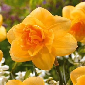 Нарцисс 'Оранж Джус', 35см, р/р z12-14, 50 шт. Ош