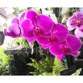 Орхидея Фаленопсис African Queen,  без цветка (детка), горшок  2,5 дюйма Ош