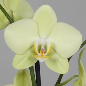Орхидея Фаленопсис Limelino,  без цветка (детка), горшок  2,5 дюйма Ош