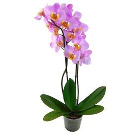 Орхидея Фаленопсис H1584,  без цветка (детка), горшок  2,5 дюйма Ош