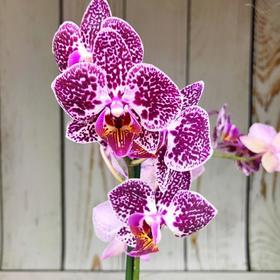 Орхидея Фаленопсис Cultivation,  без цветка (детка), горшок  2,5 дюйма Ош