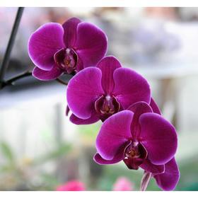 Орхидея Фаленопсис SI3469,  без цветка (детка), горшок  2,5 дюйма Ош