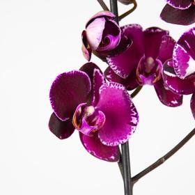 Орхидея Фаленопсис Devotion,  без цветка (детка), горшок  2,5 дюйма Ош