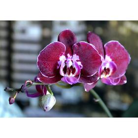 Орхидея Фаленопсис Armion,  без цветка (детка), горшок  2,5 дюйма Ош