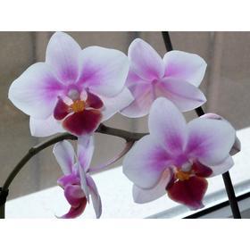 Орхидея Фаленопсис SI3825,  без цветка (детка), горшок  2,5 дюйма Ош