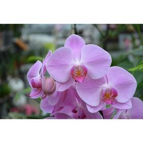 Орхидея Фаленопсис SI3852,  без цветка (детка), горшок  2,5 дюйма Ош