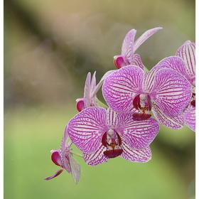 Орхидея Фаленопсис Lilien,  без цветка (детка), горшок  2,5 дюйма Ош