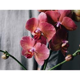 Орхидея Фаленопсис Н324, без цветка (детка), горшок 2,5 дюйма Ош