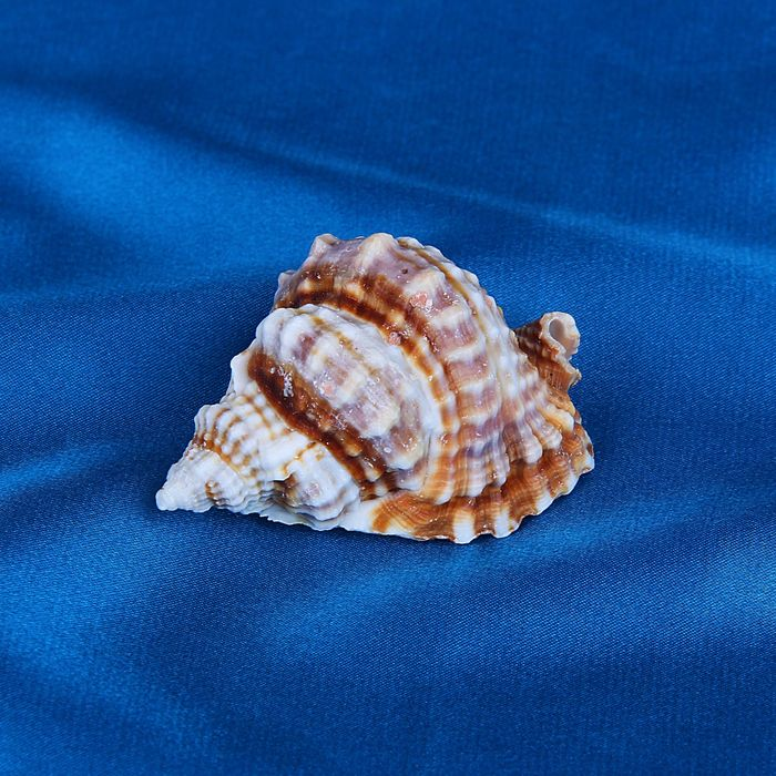 изображения даже виды морских раковин с фото места